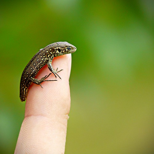 A Little Brave Lizard