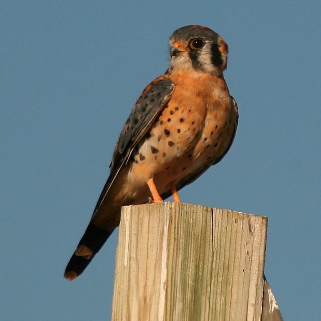 American Kestrel ~ Falco sparverius (Male) - a photo on ...