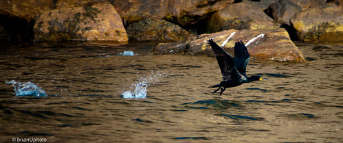 Double-crested Cormorant taking flight