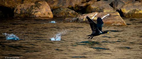 Double-crested Cormorant taking flight
