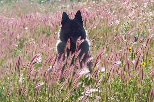 dog newmexico color colorado colorful norwegian grizzly norwegianelkhound sangredecristomountains elkhound scenicsnotjustlandscapes discoveryphotos blackfacedog camfirephotos