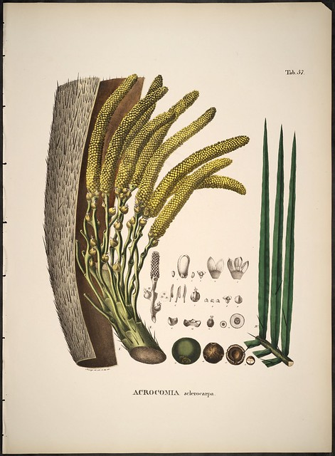Acrocomia sclerocarpa