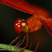 Red Dragonfly by wewet