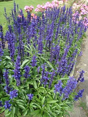 hyssopus(0.0), rosemary(0.0), lavender(0.0), common sage(0.0), annual plant(1.0), shrub(1.0), flower(1.0), english lavender(1.0), plant(1.0), lavender(1.0), herb(1.0), delphinium(1.0),