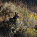 Mountain Coyote - Photo (c) Blake Matheson, some rights reserved (CC BY-NC)