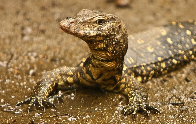 pin baby monitor lizards for sale diaper cloth on pinterest. Black Bedroom Furniture Sets. Home Design Ideas