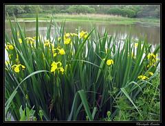 Iris faux acor (Iris pseudacorus)