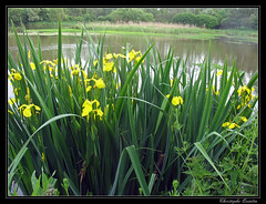 Iris faux acor (Iris pseudacorus) - Photo of Cintheaux