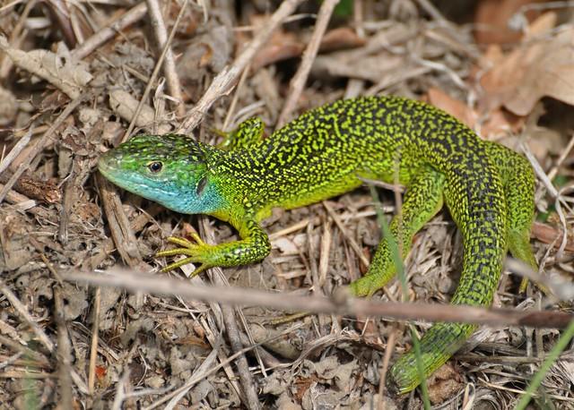 lacerta bilineata european green lizard l zard vert. Black Bedroom Furniture Sets. Home Design Ideas