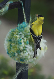 Yellow Finch on Pom-Pom