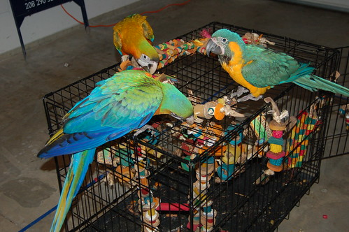 Three parrrots
