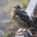 Small photo of Young bird