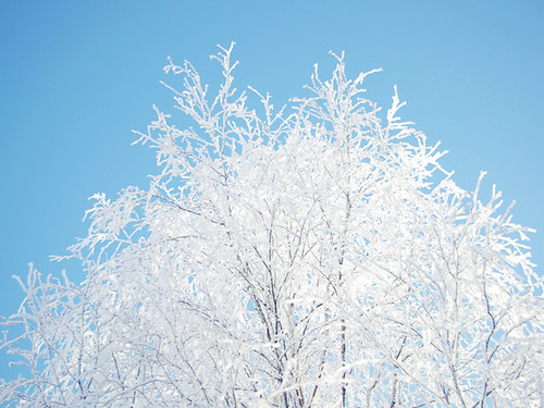 White frosty branches
