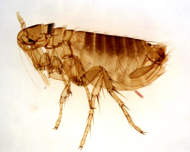 adult male Oropsylla Montana flea