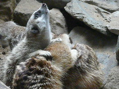 raccoon(0.0), otter(0.0), squirrel(0.0), meerkat(0.0), animal(1.0), zoo(1.0), mustelidae(1.0), mammal(1.0), fauna(1.0), procyonidae(1.0), wildlife(1.0),