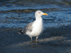 albatross(0.0), animal(1.0), charadriiformes(1.0), sea(1.0), fauna(1.0), great black-backed gull(1.0), european herring gull(1.0), beak(1.0), bird(1.0), seabird(1.0), wildlife(1.0),
