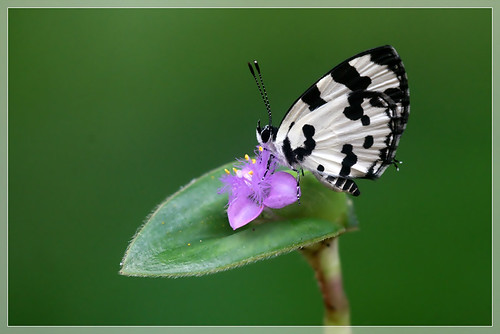 Life Cycle of Angled Pierrot - Caleta caleta