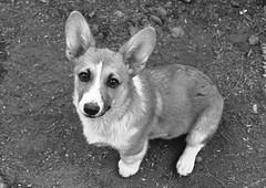 czechoslovakian wolfdog(0.0), wolfdog(0.0), saarloos wolfdog(0.0), dog breed(1.0), animal(1.0), dog(1.0), mammal(1.0), pembroke welsh corgi(1.0), welsh corgi(1.0), black-and-white(1.0),