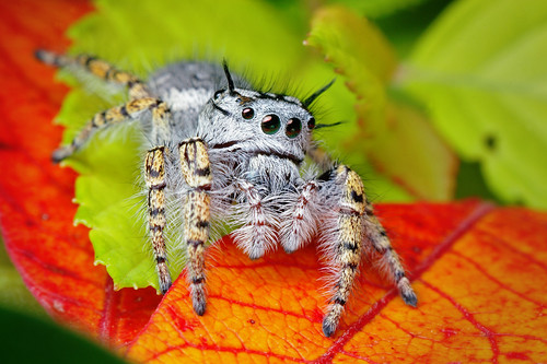 Adult Female Jumping Spider - (Phidippus mystaceus)