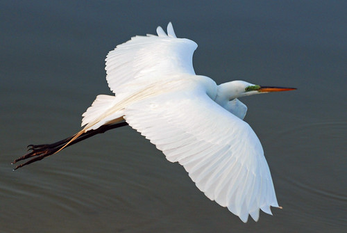 park white bird nature water animal closeup outside outdoors flying inflight wings pond colorful looking florida wildlife watching feathers sarasota staring egret avian greategret airborn plumage spooked ardeaalba specanimal abigfave anawesomeshot akermanpark michaelskelton michaeldskelton michaeldskeltonphotography