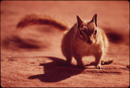 Chipmunk at Campground of Dead Horse Point State Park, 05/1972