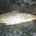 20-inch Ter River wild brown trout