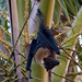 Insular Flying Fox - Photo (c) Paul Asman and Jill Lenoble, some rights reserved (CC BY)