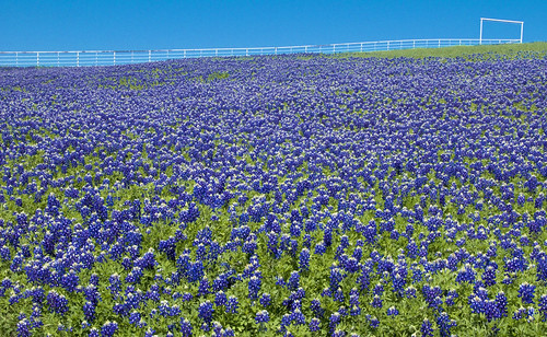 The Fence on Bluebonnet Hill