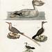 bertuch pelican