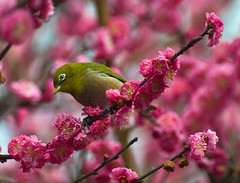 Japanese White-Eye Enjoying Cherry Blossoms