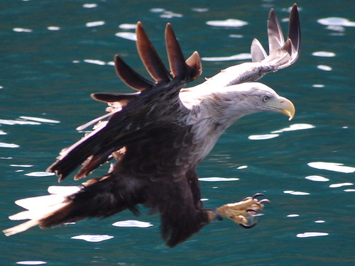 Wild Sea Eagle hunting of Isle of Skye