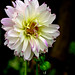 Dew-Drops on Dahlias