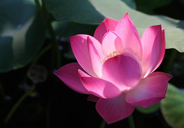 Flower - Pink - lotus