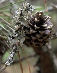 larch, flower, branch, pine, leaf, tree, macro photography, flora, close-up, conifer cone, spring, fir, spruce,
