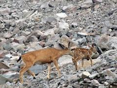 chamois(0.0), animal(1.0), deer(1.0), fauna(1.0), white-tailed deer(1.0), wildlife(1.0),