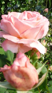 ROSE TENDRE .
