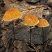 Marasmius - Photo (c) Alan Cressler, some rights reserved (CC BY-NC)