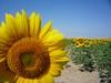 Responder acerca de sunflowers