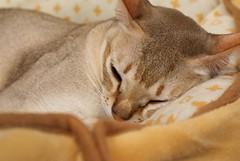 nose, animal, abyssinian, small to medium-sized cats, skin, pet, snout, mammal, singapura, close-up, cat, burmese, whiskers,