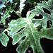 Wednesday's Leaf