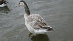 Greylag  Goose Juvenile or Canada Crossbred?