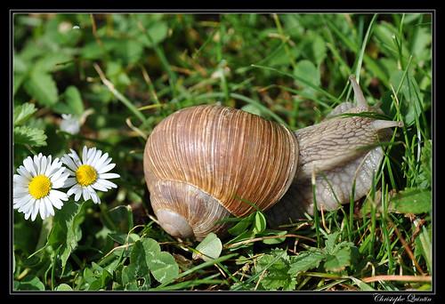 Escargot de Bourgogne (Helix pomatia)