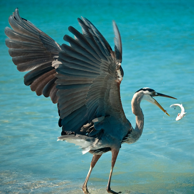 Great Blue Heron Fish Flip