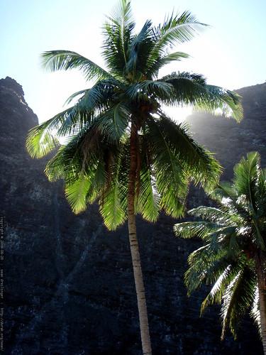 coconut palm   P8190049