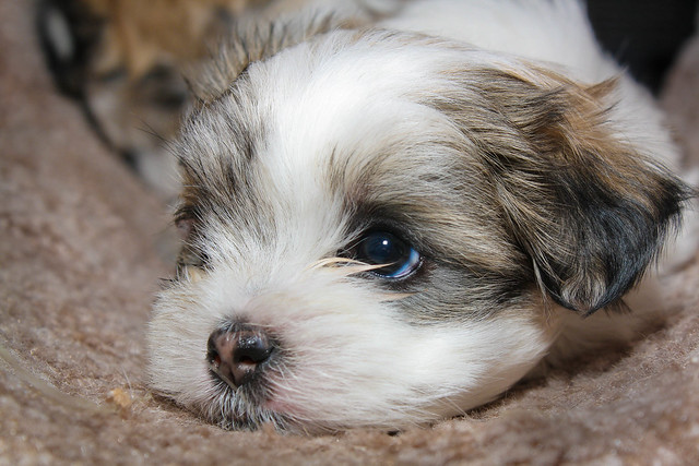 Maltese-Shihtzu puppy in Mia's cat tunnel