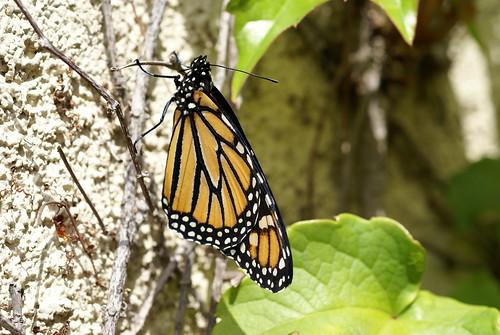 Monarch 200903