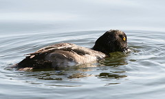 animal, water bird, duck, water, fauna, mergus, seaduck, bird, wildlife,