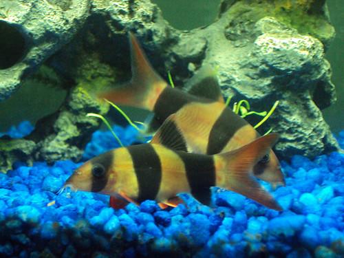Fish clown loaches flickr photo sharing for Clown loach fish