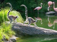 Story lines- Lemur Dilema