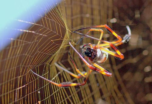 viewlarge linnaeus nephilaclavipes arachnidaaraneaetetragnathida